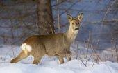 Охота на косулю зимой. Виды и принципы охоты.