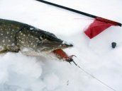 Зимняя рыбалка на щуку на жерлицы: секреты опытных рыбаков