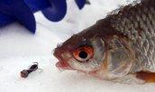Зимняя рыбалка на чертик. Техника проводок и хитрости