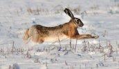 Зимняя охота на зайца. Условия успешной охоты.