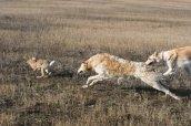 Охота с гончими на зайца: особенности и секреты