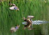 Охота на утку весной с подсадной уткой