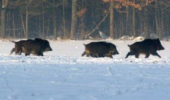Охота на кабана зимой - что нужно знать.