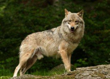Как правильно подготовиться к охоте на волка